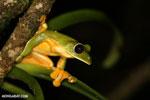 Agalychnis spurrelli frog