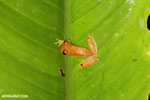 Agalychnis spurrelli tree frog [costa_rica_siquirres_1017]