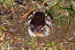 Smokey jungle frog [costa_rica_siquirres_1019]