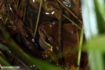 Masked frog (Litoria personata) [costa_rica_siquirres_1021]