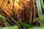 Masked frog (Litoria personata) [costa_rica_siquirres_1023]