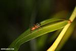 Glasshopper [costa_rica_siquirres_1041]