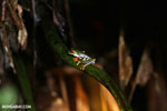 Red-eyed tree frog [costa_rica_siquirres_1061]