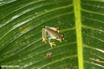 Red-eyed tree frog [costa_rica_siquirres_1064]