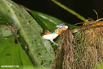 Red-eyed tree frog [costa_rica_siquirres_1067]