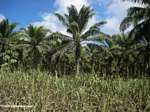 Oil palm plantation [costarica-106]