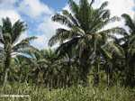 Oil palm plantation [costarica-107]