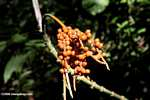 Palm fruit [cr_3669]