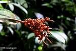 Palm fruit [cr_3671]