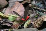 Dark gray and red butterfly (Pierella helvetia incanescens) [cr_3727]