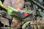 Dark gray and red butterfly (Pierella helvetia incanescens)