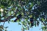 Swainson's Toucan (Ramphastos swainsonii) [cr_3887]