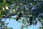 Swainson's Toucan (Ramphastos swainsonii) [cr_3894]