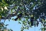 Swainson's Toucan (Ramphastos swainsonii) [cr_3895]