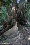Buttress roots [cr_4001]