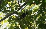 Pionus Parrot [cr_4100]