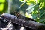 Black Iguana (Ctenosaura similis)