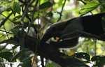 Arboreal Lesser Anteater (Tamandua tetradactyla) [cr_4318]