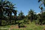 Oil palm estate [cr_4358]