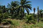 Oil palm plantation [cr_4359]