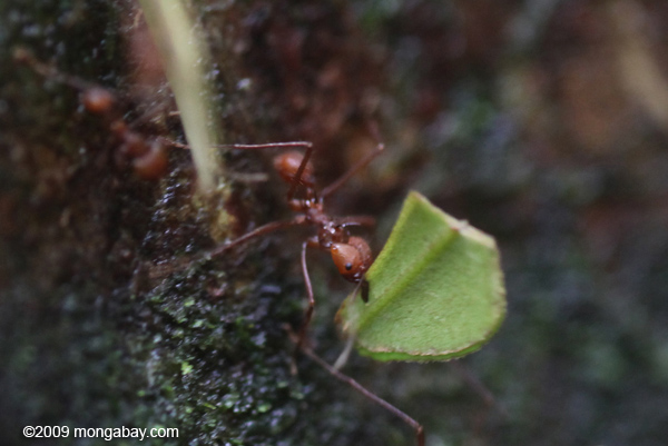 Leaf-cutter ant