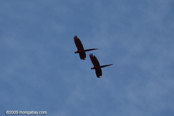 Scarlet macaws in flight. Photo by Rhett Butler.