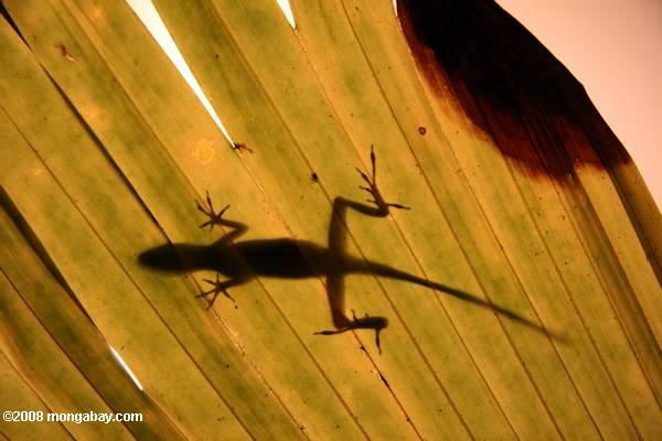 An anole lizard silhouetted on a rainforest leaf.