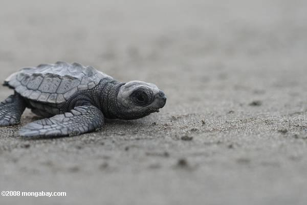 Baby sea turtle on a Costa Rican beach. Photo by Rhett A. Butler / mongabay.com