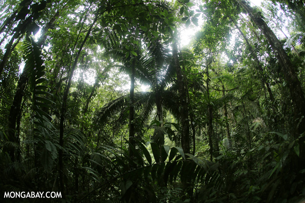 Inside Central American rainforest. Photo by Rhett A. Butler.