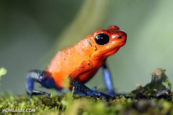 Blue jeans poison-dart frog (Oophaga pumilio) in Costa rica