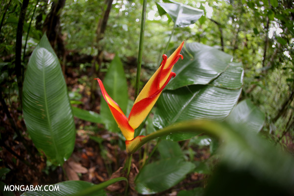 Heliconia in the rainforest