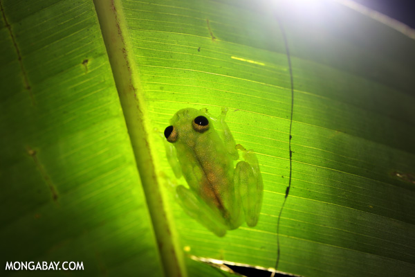 A glass frog in Costa Rica. Photo by: Rhett A. Butler.