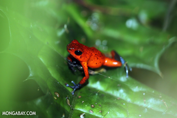 Strawberry dart frog in Costa Rica. Photo by:  Rhett Butler.