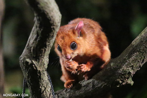 Large brown flying squirrel (Petaurista philippensis)