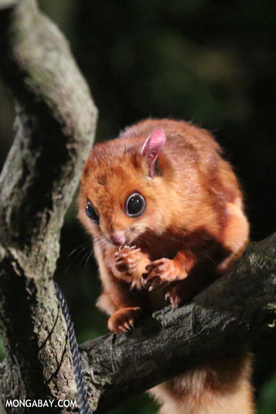Large brown flying squirrel