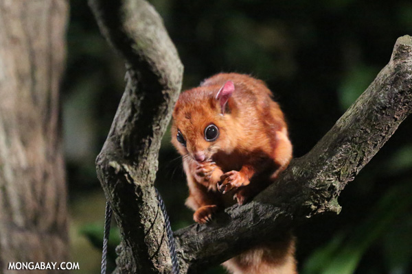 Common giant flying squirrel