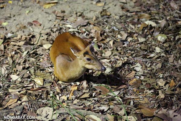 Indian muntjac (Muntiacus muntjak)