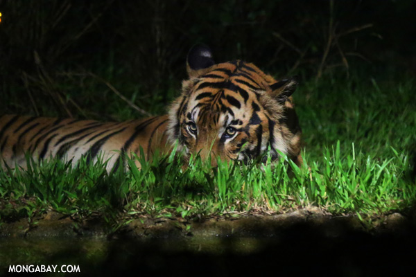 Captive tiger. There are more captive tigers in the world than wild ones. Photo by: Rhett A. Butler.