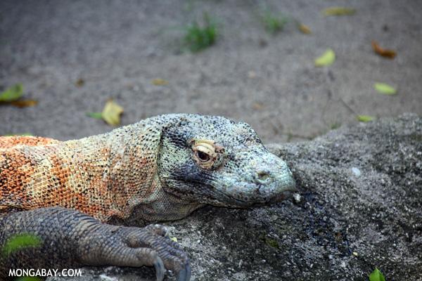 Colorful Komodo dragon