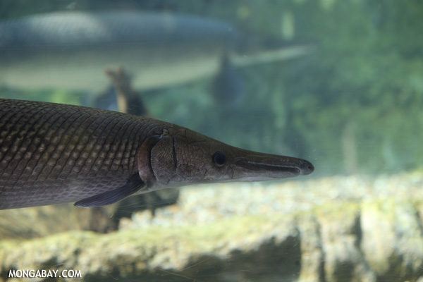 Crocodile gar