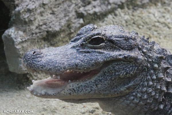 Yangtze alligator (Alligator sinensis)