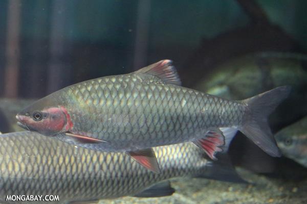 Red-nose cyprind