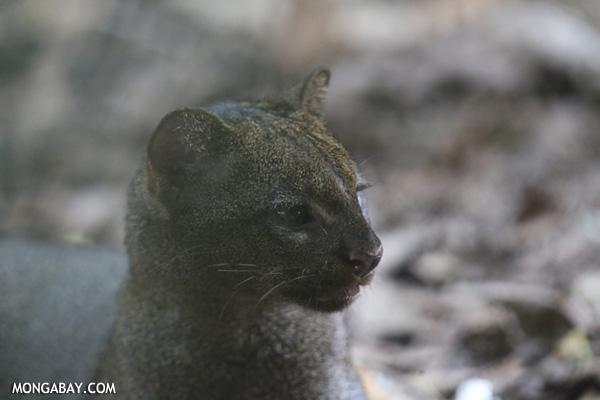 Eyra cat (Puma yagouaroundi)