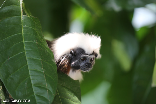 Cotton-tufted tamarin (Saguinus oedipus)
