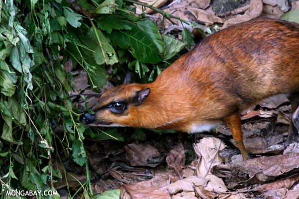 Lesser mouse-deer (Tragulus kanchil)