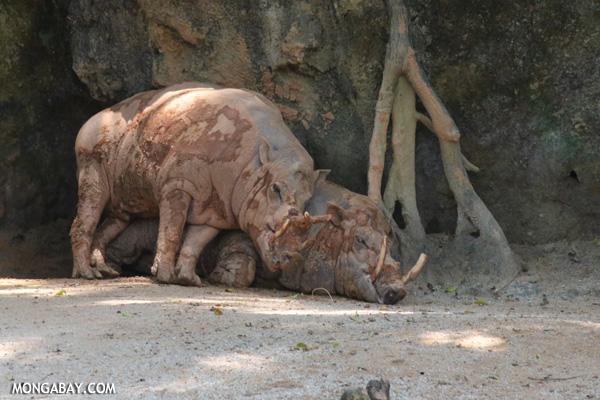 Pair of babirusa