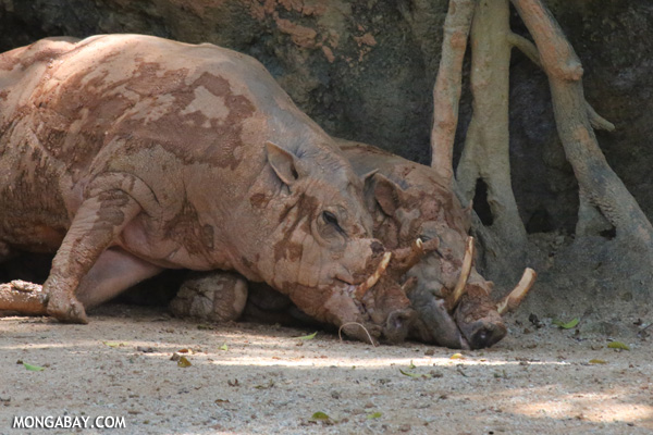 Pair of babirusa cuddling