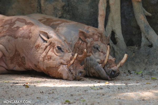 Pair of pig-deer cuddling
