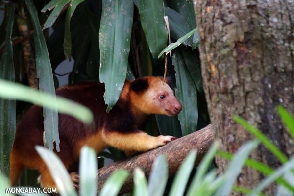 Goodfellow's Tree Kangaroo