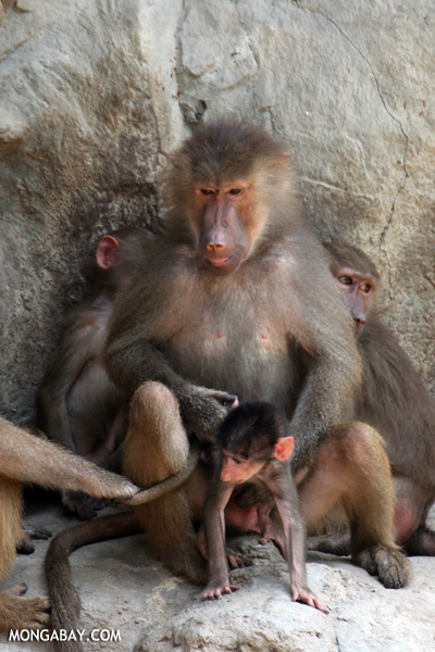 Family of Lion-tailed Macaques